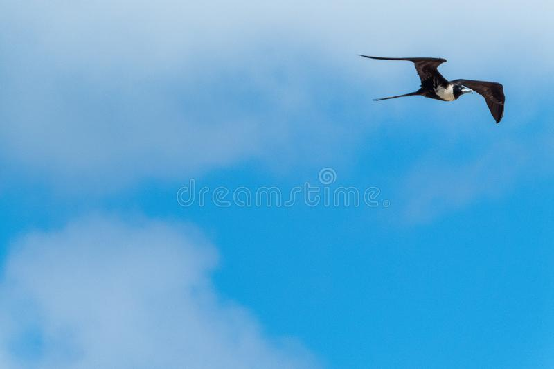 Female magnificent frigatebird flying against a blue sky background. A female magnificent frigatebird Fregata magnificens soaring against a hazy blue sky stock photography