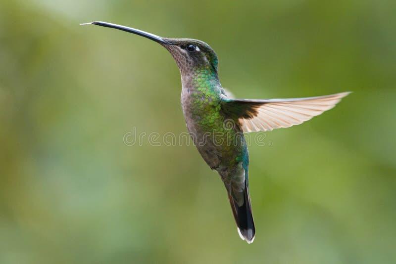 Female Magnificent Hummingbird in Costa Rica. Flying Magnificent Hummingbird in Costa Rica royalty free stock photo