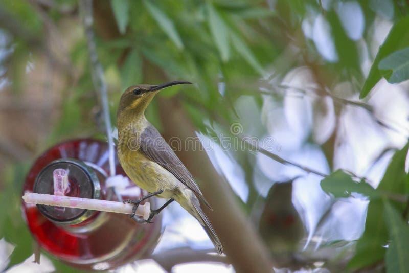 Female Malachite sunbird. Malachite Sunbird drinking at a home made bottle feeder. The malachite sunbird (Nectarinia famosa) is a small nectivorous bird stock images