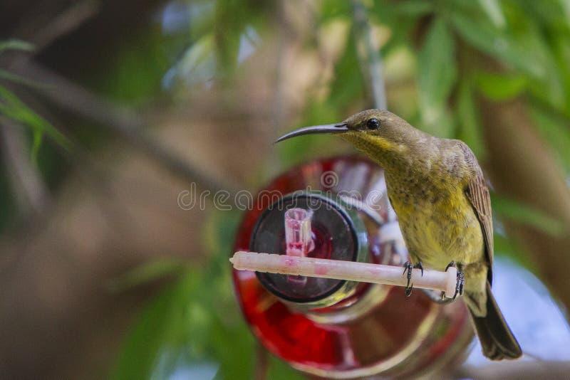 Female Malachite sunbird. Malachite Sunbird drinking at a home made bottle feeder. The malachite sunbird (Nectarinia famosa) is a small nectivorous bird royalty free stock photo