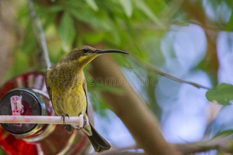 Female Malachite sunbird. Malachite Sunbird drinking at a home made bottle feeder. The malachite sunbird (Nectarinia famosa) is a small nectivorous bird stock photos