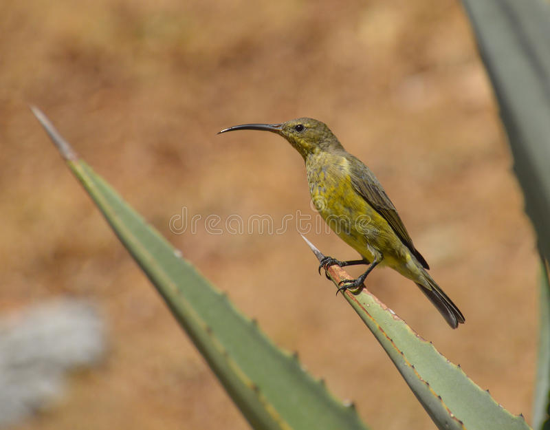 Female Malachite Sunbird. A female malachite Sunbird perched on an aloe plant in South Africa royalty free stock photo