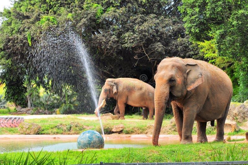 Female & male Asian elephants royalty free stock photography