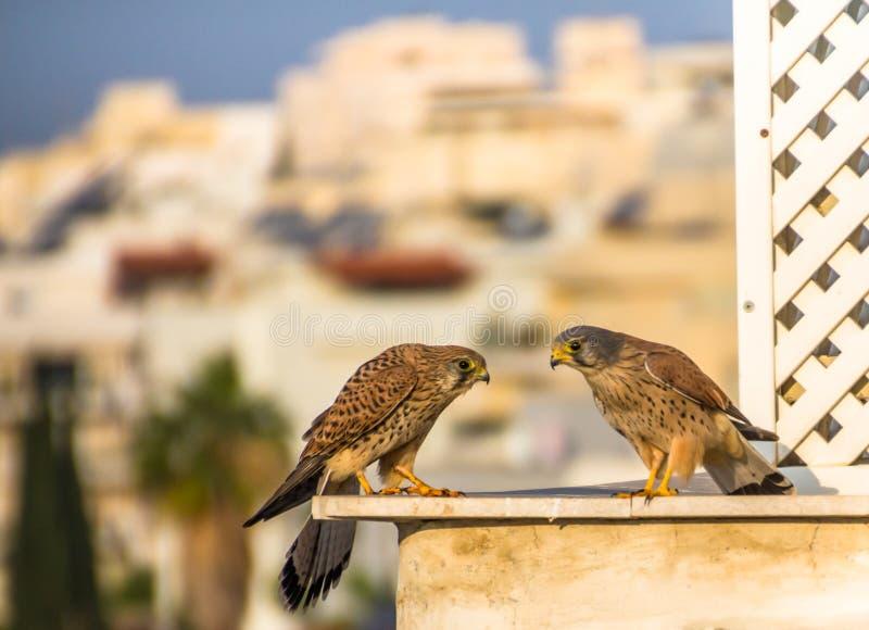 Female and male common kestrel Falco tinnunculus. Aka European kestrel, Eurasian kestrel, or Old World kestrel, bird of prey belonging to the falcon family an royalty free stock photos