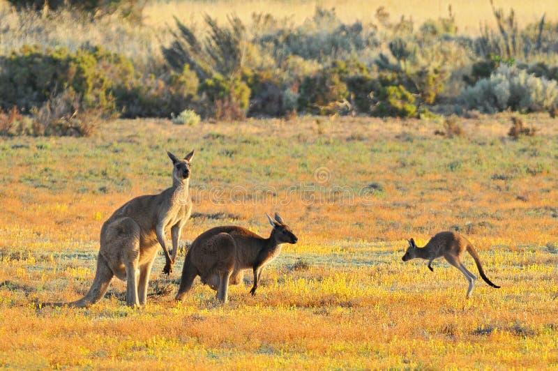 Female and male eastern grey kangaroos Macropus giganteus, Coorong National Park Australia royalty free stock photo