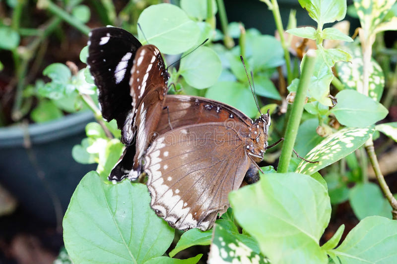 Female and male Great Egg-Fly butterfly stock images