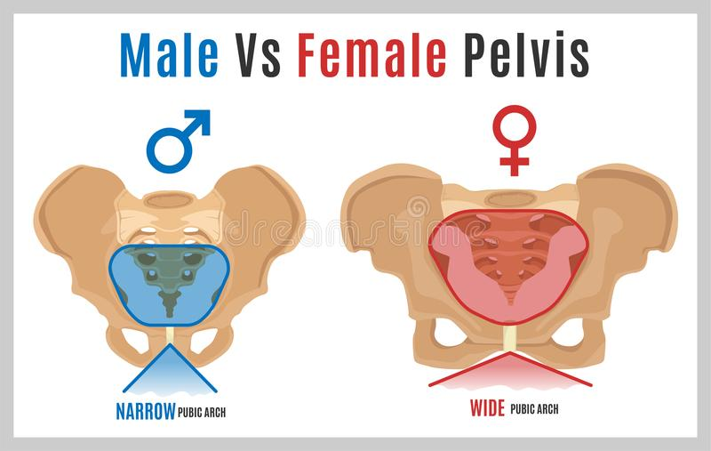 Female Male Pelvis-09. Male vs female pelvis. Main differences. Detailed vector illustration isolated on a white background. Medical and anatomical concept stock illustration
