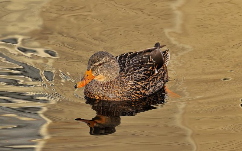 Female Mallard Abstract. This beautiful Mallard was swimming on the local pond on a early autumn morning. The sun was out and the water was still and glassy and royalty free stock image