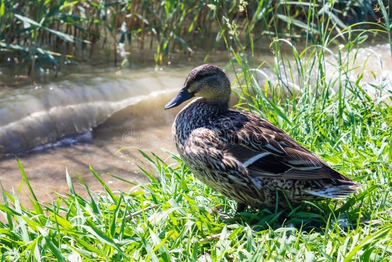 The female mallard Anas platyrhynchos wild duck sitting on the river bank - Image stock image