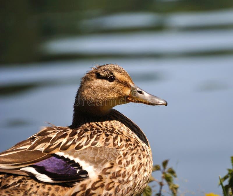 Download Female mallard duck stock photo. Image of grass, mallard - 25302152