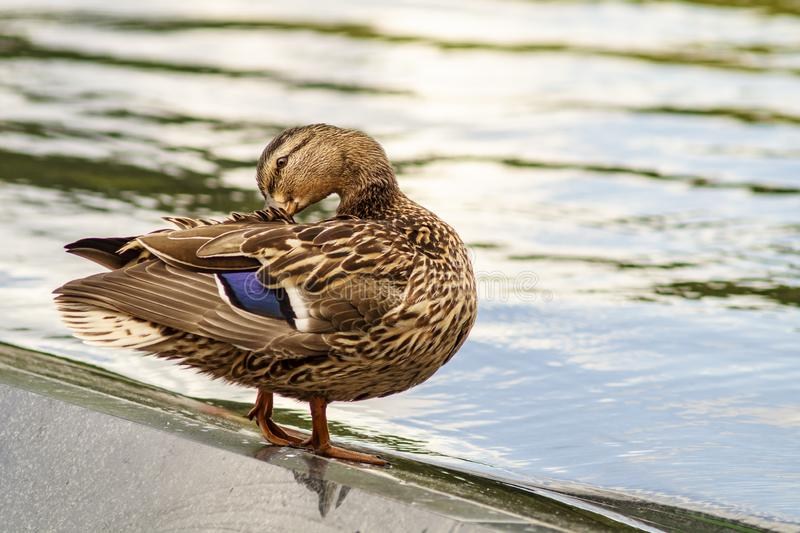 Female mallard duck Anas platyrhynchos is a member of the family Anatidae. It`s a waterfowl. Beautiful young duck stand in water. Of a fountain and cleans the royalty free stock photography