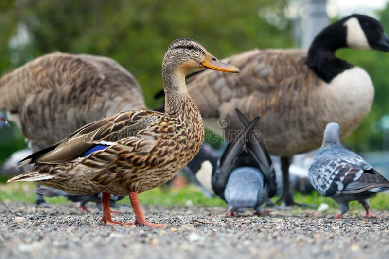 Female mallard duck in side view standing in front of several pigeons and geese stock images