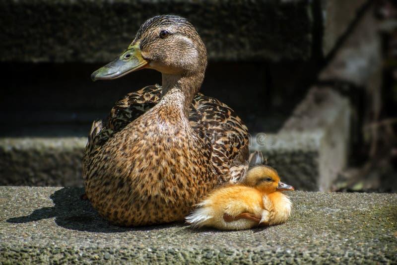 Female mallard duck & x28;Anas platyrhynchos& x29; with a young duckling i stock image