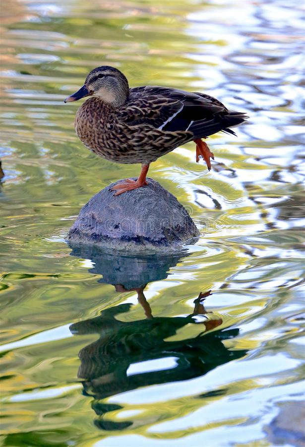 Duck mallard female stock image