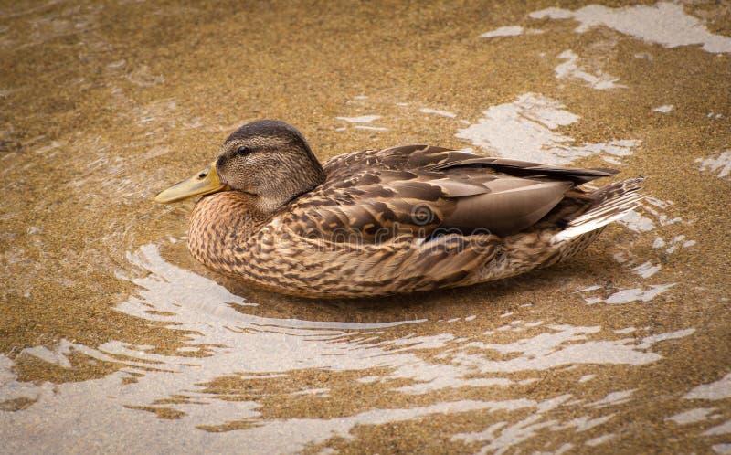 Female mallard duck. Floating in sandy bottomed waters royalty free stock image