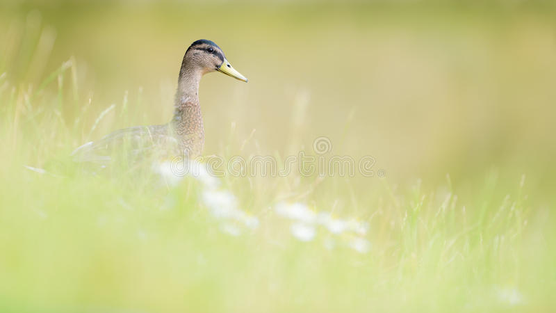 Female Mallard Duck in Grass and Wild flowers. A female mallard duck is seen walking through tall grasses with wild flowers defocused in the foreground stock photography