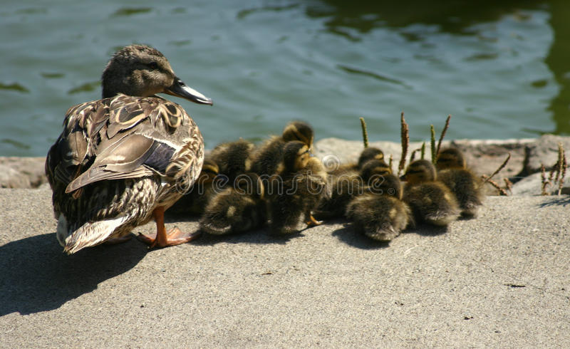 A female Mallard duck and her ducklings. royalty free stock photo
