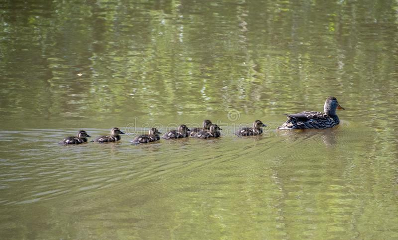 Female Mallard duck with her ducklings stock photos