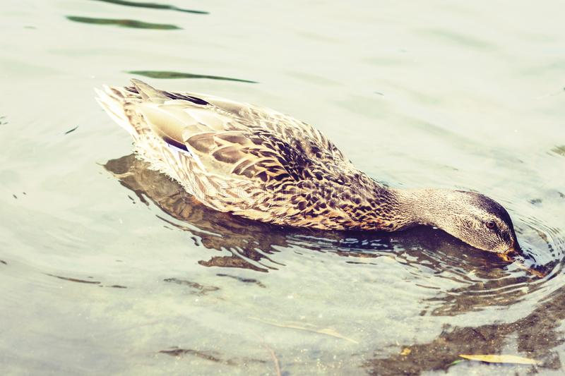 Female mallard duck. Portrait of a duck on a lake in a park.  stock photography