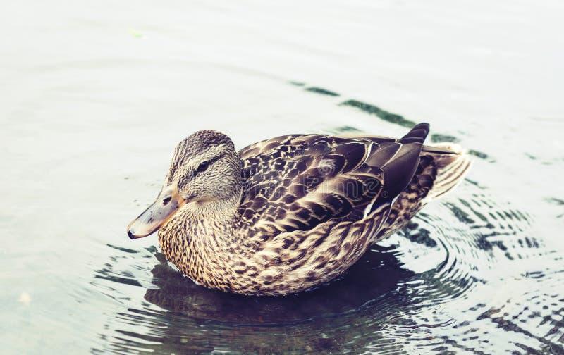 Female mallard duck. Portrait of a duck on a lake in a park.  stock photos