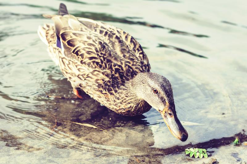 Female mallard duck. Portrait of a duck on a lake in a park.  royalty free stock photography