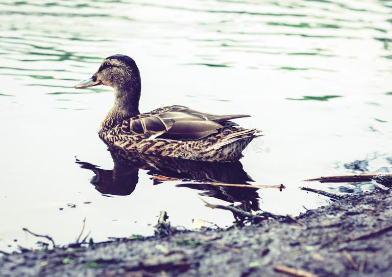 Female mallard duck. Portrait of a duck on a lake in a park.  stock image