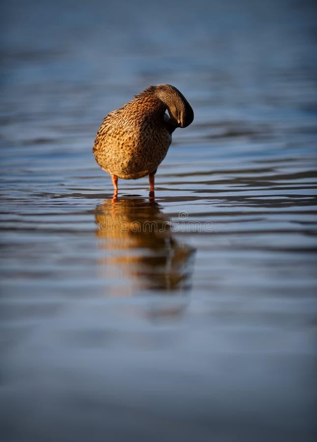 Female Mallard Duck Preening On Rippling Blue Water royalty free stock images