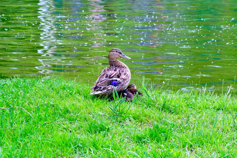 Female mallard duck with two ducklings sleeping under its wings, at the edge of a pond, on green Spring grass. Mother duck looking towards the camera stock images