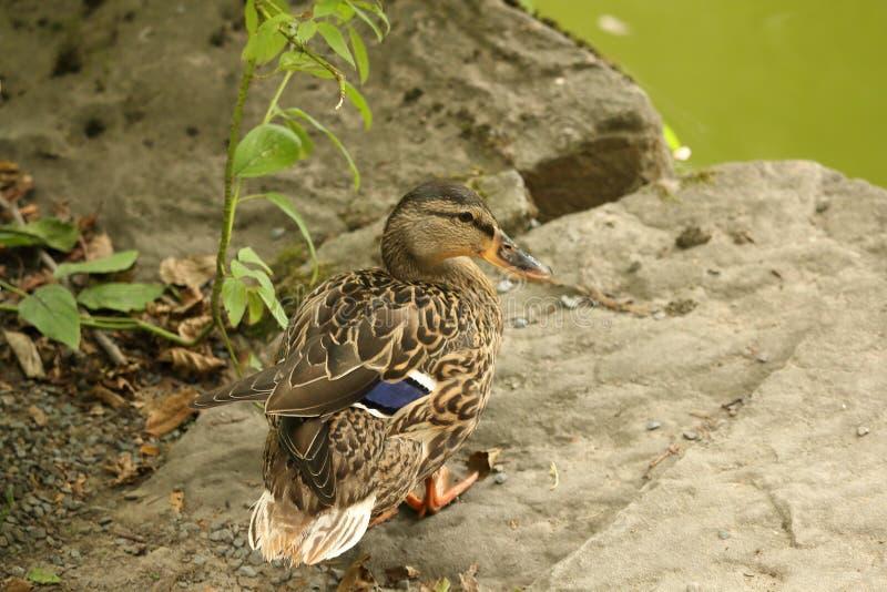 Female mallard duck (wild duck) standing on small rock next to g. Portrait of female mallard duck (wild duck) standing on small rock next to green pond royalty free stock photos