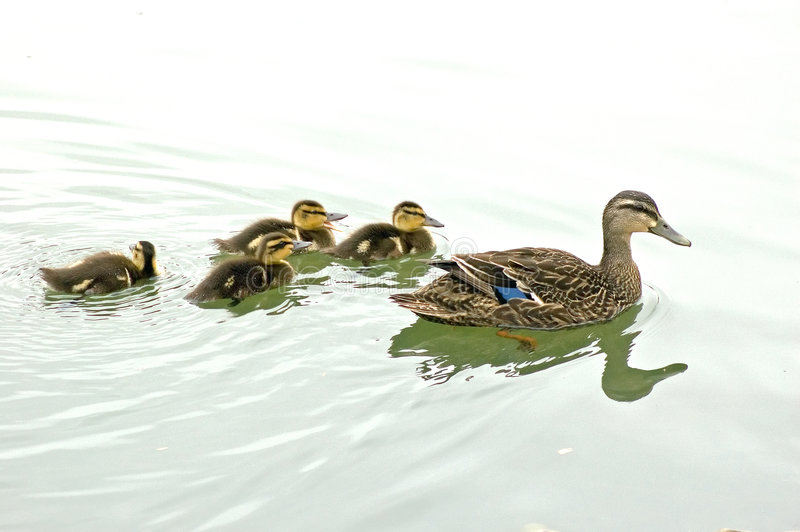 Download Female Mallard With Ducklings Stock Photo - Image: 773294