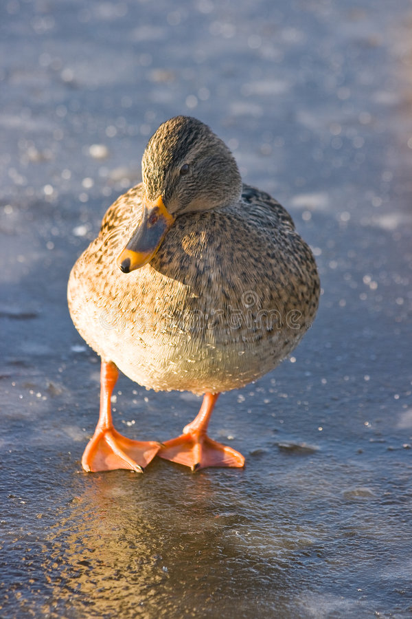 Free Female Mallard On The Ice Stock Photography - 7634002