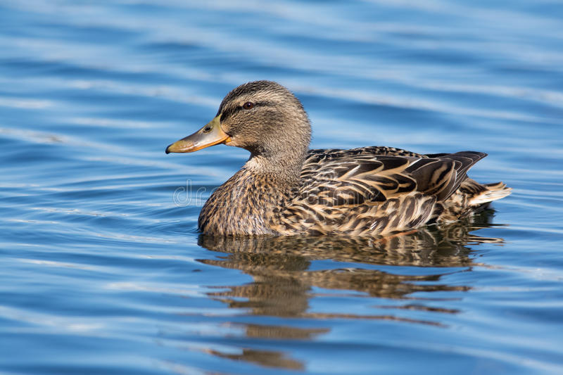 Female Mallard. Swimming on blue water stock photography
