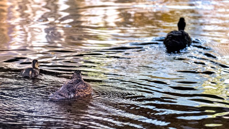 Female mallard swimming with duckling royalty free stock photography