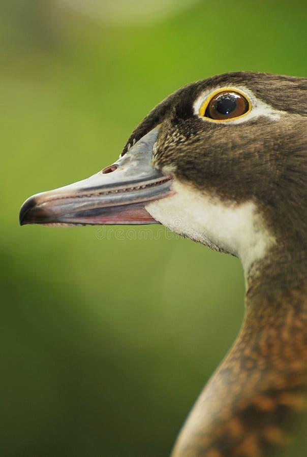 Free Female Mandarin Duck Stock Photography - 13887382