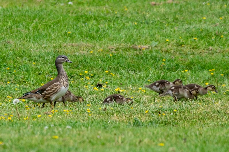 Female mandarin duck aix galericulata and family of ducklings. Female brown mandarin duck aix galericulata and family of ducklings royalty free stock photography