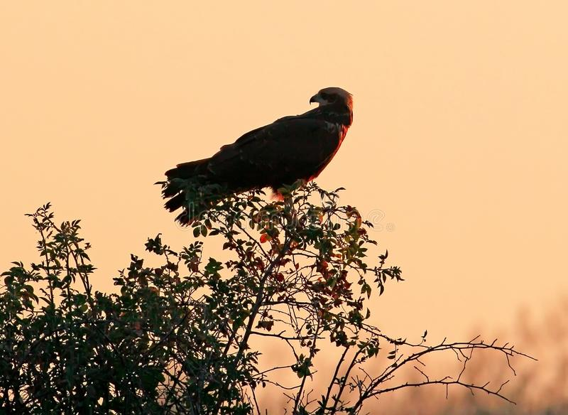 The female of the marsh harrier sits on a bush in the rays of the rising sun. Gently pink blurred background stock photo