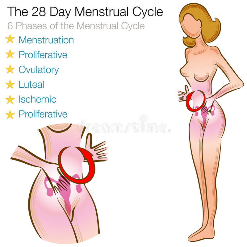 Female Menstrual Cycle vector illustration