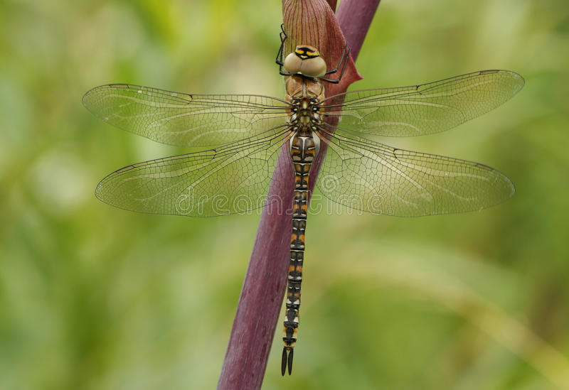 A female Migrant Hawker Aeshna mixta Dragonfly perched on Angelica disambiguation. A newly emerged, female Migrant Hawker Dragonfly Aeshna mixta perched on stock images