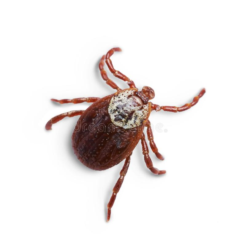 Female mite isolated on the white background with shadows. Macro photo. Macro photo of a female Ixodic tick crawling isolated on the white background with royalty free stock images