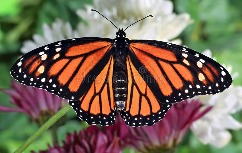 Female Monarch Butterfly stock images