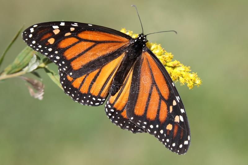 Female Monarch Butterfly danaus plexippus. With Goldenrod flowers and a green background stock photo