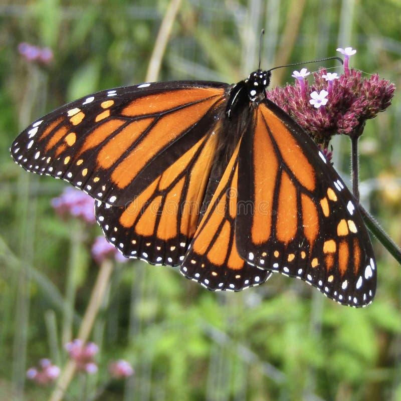Female monarch butterfly Danaus plexippus on verbena bonariensis wildflower. Female monarch butterfly Danaus plexippus sipping nectar on verbena bonariensis royalty free stock image