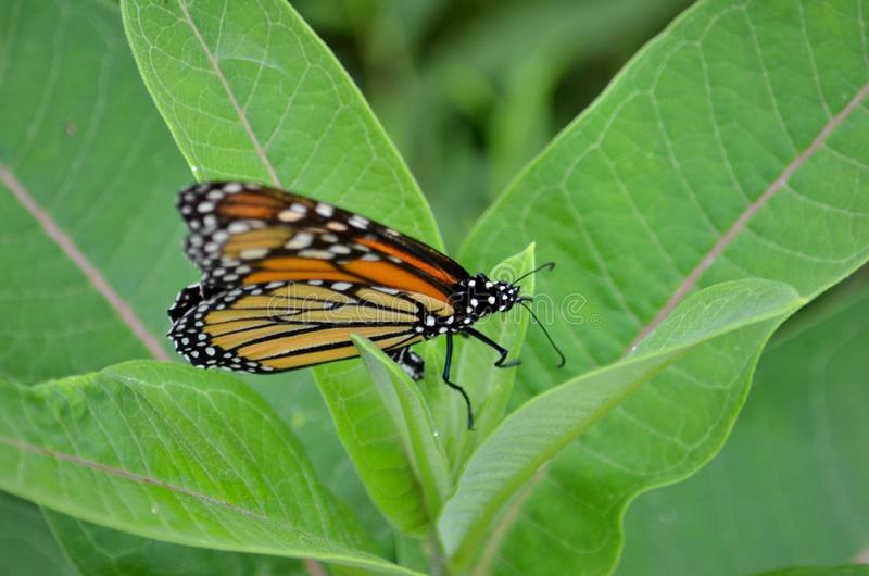 Female Monarch Butterfly laying egg. S on millkweed in Ontario, Canada stock photography