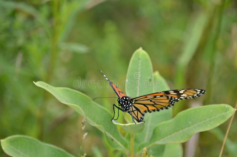 Female Monarch Butterfly laying egg. S on millkweed in Ontario, Canada stock photo