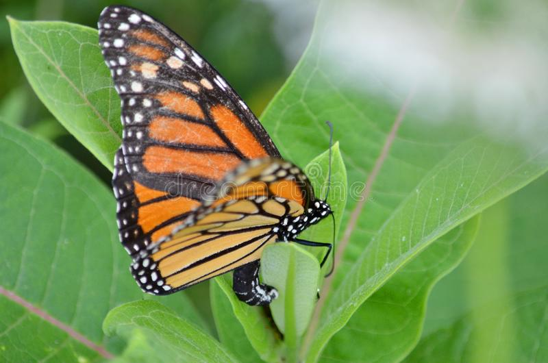 Female Monarch Butterfly laying eggs. On millkweed in Ontario, Canada stock images