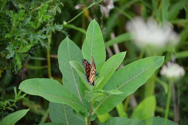 Female Monarch Butterfly laying eggs. On millkweed in Ontario, Canada royalty free stock photography