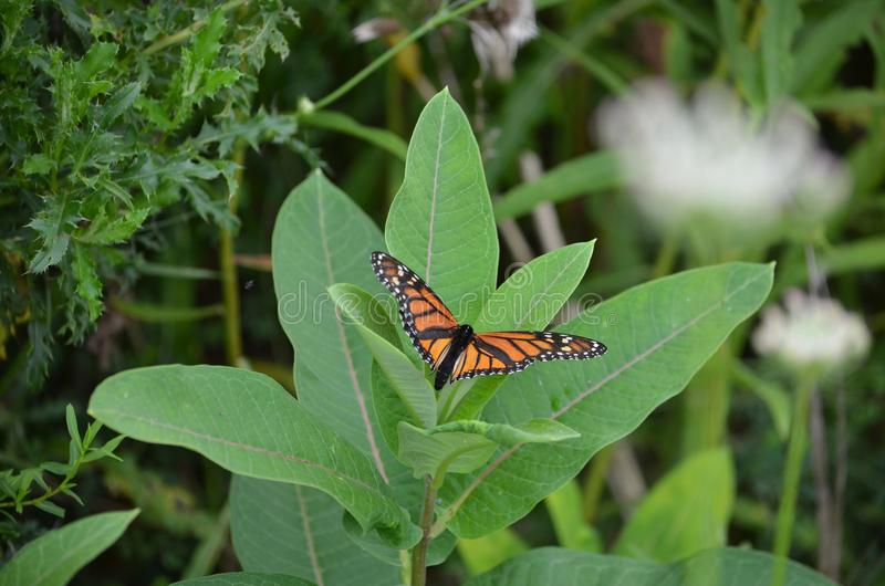 Female Monarch Butterfly laying eggs. On millkweed in Ontario, Canada royalty free stock images