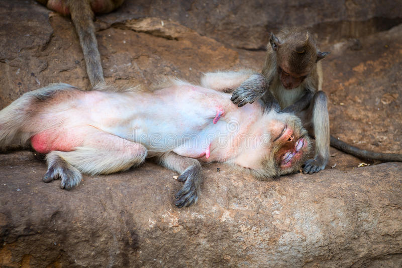 Female monkey being groomed by its cute baby. Cute baby monkey sitting and grooming its relaxed happy mother outdoors on the rocks royalty free stock images