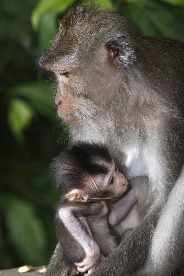 Female Monkey With Infant Stock Images