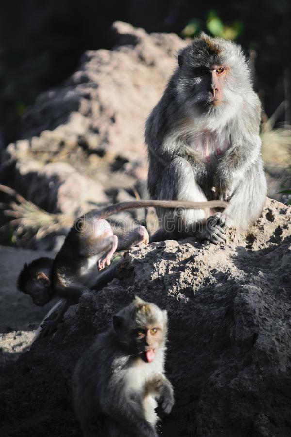 Female monkey sitting on the stone and watching her baby monkeys stock photography